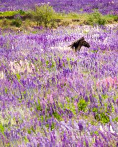 Horse in lupin field