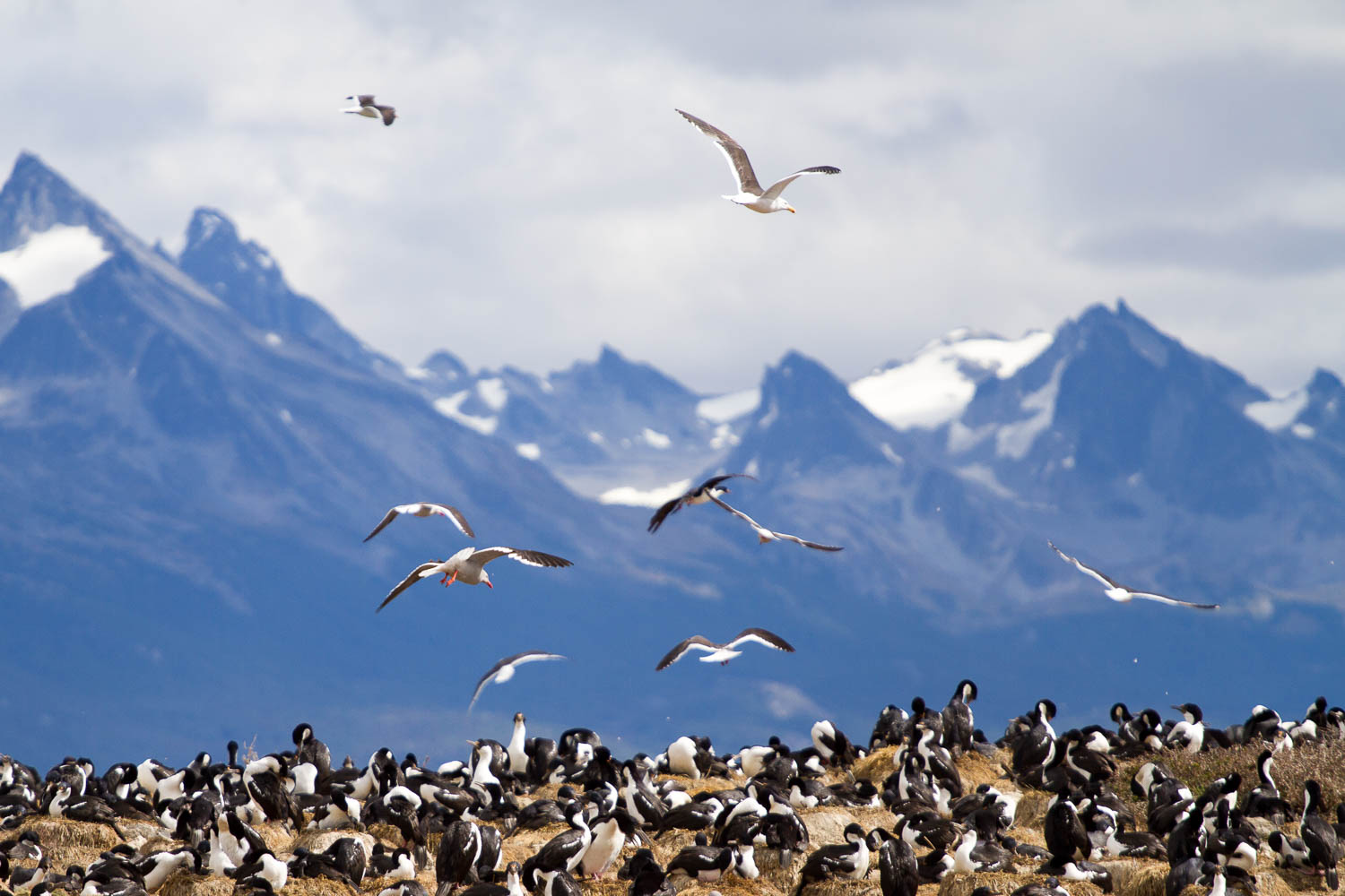 Sea bord colony, Beagle Channel