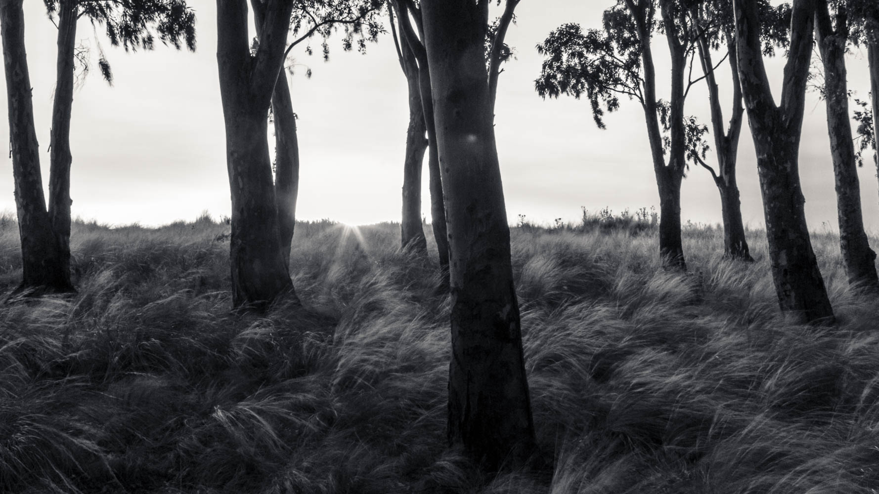 Stand of eucalypts at sunset